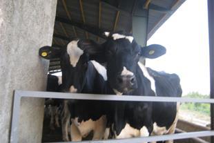فروش گاوداری شیری صنعتی( بینظیر در منطقه هشتگرد)