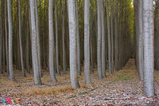 خرید و فروش چوب اکالیپتوس