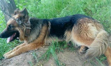 فروش سگ ژرمن - 1
