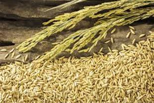 فروش سبوس برنج در تناژ بالا