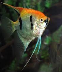 فروش ماهی آنجل کوی سر پرتقالی - 1