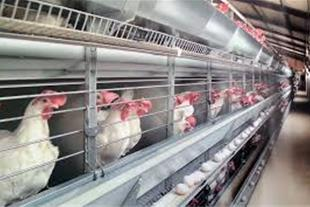 فروش مرغ تخم گذار
