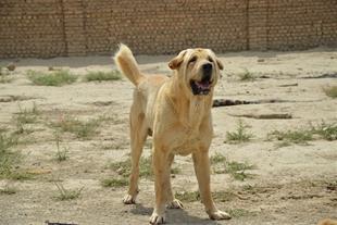 غذای خشک سگ برای نژاد سگ کرد