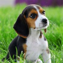 غذای خشک سگ برای نژاد بیگل