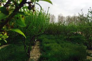 فروش فوری باغ میوه 13000 هزار متر مربع