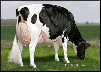 قیمت گاو شیری اصیل