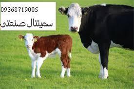 قیمت گاو تلیسه هلشتاین