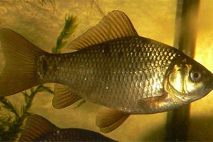 فروش بچه ماهی کپور