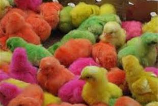 پخش عمده جوجه رنگی ، محلی و اردک