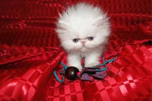 فروش گربه پرشین