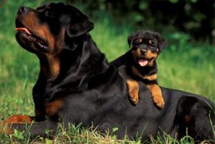 فروش سگ روت وایلر