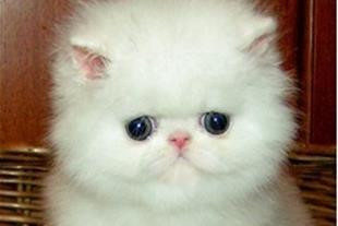 گربه پرشین وارداتی ، بچه گربه پرشین وارداتی