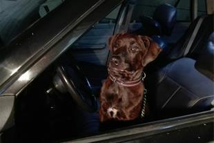 فروش فوری سگ نگهبان ، نژاد American pitpool