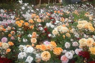 فروش گل رز ریشه ای به صورت کیسه ای . نسترن.هفت رنگ