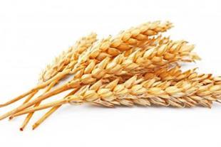 واردات وفروش انواع گندم وجو وذرت