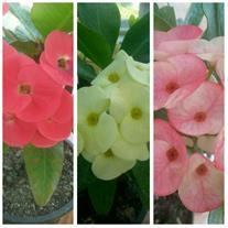 تولید انواع گل و گیاه و درختچه های زینتی