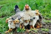 فروش جوجه مرغ محلی و بومی و مرغ