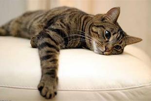 بچه گربه7ماهه .فوق العاده باهوش و زیبا