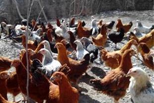 فروش جوجه یک روزه تا مرغ بالغ محلی جهت تخم گذاری