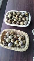فروش تخم نطفه دار بلدرچین تضمینی - 1