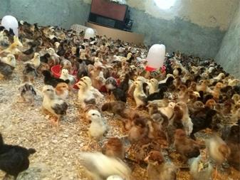 فروش جوجه مرغ محلی40روزه - 1