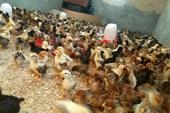 فروش جوجه مرغ محلی40روزه