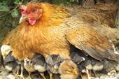 فروش عمده وجزئی مرغ بومی اصلاح نژادشده