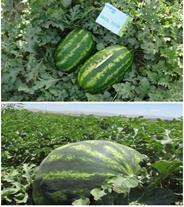 قابل توجه کشاورزان هندوانه کار ایران در همه استان