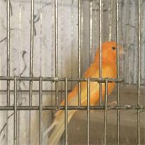 فروش  قناری پرتقالی پرستار - لوازم قناری