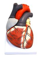 مولاژ آناتومی قلب انسان
