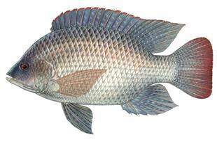 فروش عمده بچه ماهی تیلاپیا برای پرورش