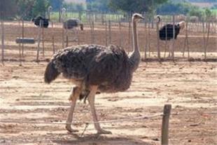 خرید فوری جوجه شترمرغ برای مزرعه تهران