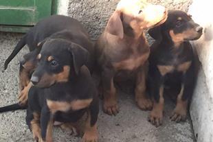 فروش توله سگ دوبرمن خالص و نژاددار