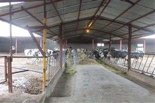 فروش گاوداری شیری 300 راسی