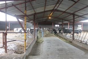 فروش گاوداری شیری 3/5 هکتاری با تمامی متعلقات