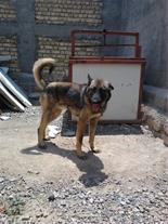 فروش سگ نگهبان درمشهد