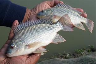 فروش بچه ماهی تیلاپیا در سایز های مختلف