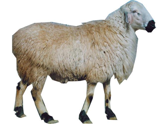 Image result for گوسفند بلوچی