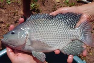 بچه ماهی و مولد تیلاپیا پرورشی