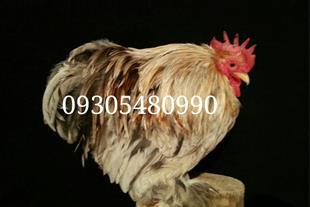 خرید و فروش قرقاول، کبک، مرغ شاخدار، مرغ های زینتی