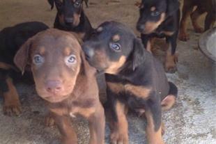 فروش انواع سگ نگهبان و توله سگ اصیل دوبرمن