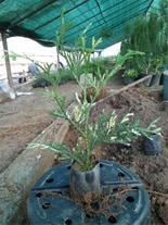 فروش گیاه شاخ گوزنی داخل نایلکس