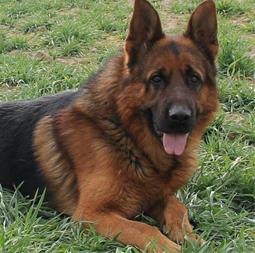 خرید و فروش سگ نگهبان ، انواع سگ نگهبان - 1