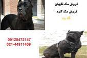 فروش سگ نگهبان کن کورسو