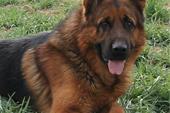 خرید و فروش سگ نگهبان ، انواع سگ نگهبان