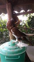 کبوتران زینتی بابل