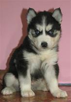 خرید انواع نژاد سگ ، فروش انواع نژاد سگ