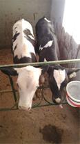 فروش گوساله نر هلشتاین جهت پرواربندی