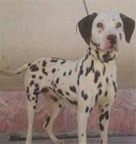 فروش انواع نژاد توله سگ های نگهبان اصیل