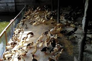 فروش اردک پیکنی دورگه و اسرایلی یک روزه و بیست روز